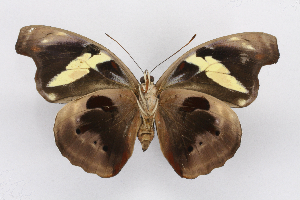 (Catonephele - INB0004154544)  @15 [ ] CreativeCommons - Attribution Non-Commercial Share-Alike (2012) National Biodiversity Institute of Costa Rica National Biodiversity Institute of Costa Rica
