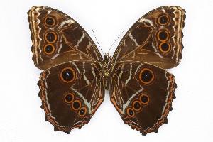 (Morpho deidamia polybaptus - INB0004215629)  @15 [ ] CreativeCommons - Attribution Non-Commercial Share-Alike (2012) National Biodiversity Institute of Costa Rica National Biodiversity Institute of Costa Rica