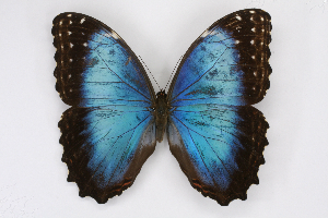 (Morpho deidamia polybaptus - INB0004221752)  @15 [ ] CreativeCommons - Attribution Non-Commercial Share-Alike (2012) National Biodiversity Institute of Costa Rica National Biodiversity Institute of Costa Rica