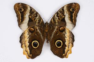 (Caligo atreus dionysos - INB0004226627)  @16 [ ] CreativeCommons - Attribution Non-Commercial Share-Alike (2012) National Biodiversity Institute of Costa Rica National Biodiversity Institute of Costa Rica