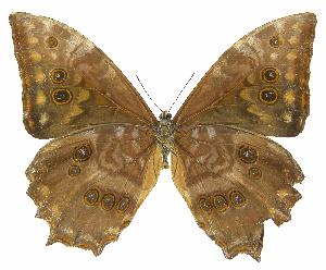 (Morpho theseus justitiae - INB0004270909)  @14 [ ] Copyright (2011) J. Montero Instituto Nacional de Biodiversidad