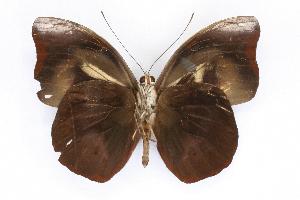 (Catonephele - INB0004273122)  @15 [ ] CreativeCommons - Attribution Non-Commercial Share-Alike  National Biodiversity Institute of Costa Rica National Biodiversity Institute of Costa Rica