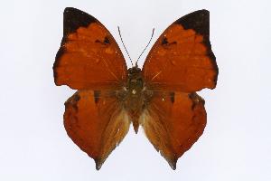 (Zaretis - INB0004277350)  @15 [ ] CreativeCommons - Attribution Non-Commercial Share-Alike  National Biodiversity Institute of Costa Rica National Biodiversity Institute of Costa Rica