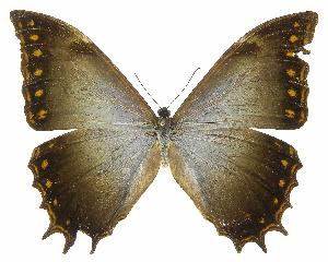 (Morpho theseus justitiae - INB0004285785)  @14 [ ] Copyright (2011) J. Montero Instituto Nacional de Biodiversidad
