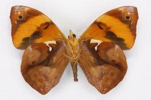 (Epiphile - INBIOCRI002137661)  @15 [ ] CreativeCommons - Attribution Non-Commercial Share-Alike (2012) National Biodiversity Institute of Costa Rica National Biodiversity Institute of Costa Rica