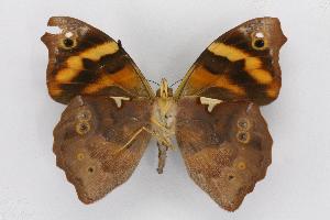 (Epiphile - INBIOCRI002556107)  @15 [ ] CreativeCommons - Attribution Non-Commercial Share-Alike (2012) National Biodiversity Institute of Costa Rica National Biodiversity Institute of Costa Rica