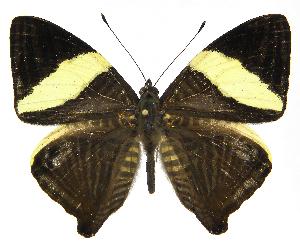 (Colobura - INB0004153539)  @15 [ ] Copyright (2011) J. Montero Instituto Nacional de Biodiversidad