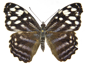 (Myscelia leucocyana smalli - INB0004269842)  @15 [ ] Copyright (2011) J. Montero Instituto Nacional de Biodiversidad