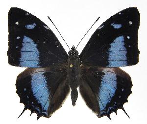 (Baeotus - INB0004269864)  @15 [ ] Copyright (2011) J. Montero Instituto Nacional de Biodiversidad