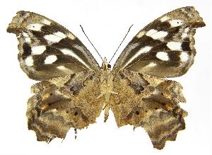 (Myscelia cyaniris cyaniris - INB0004269981)  @15 [ ] Copyright (2011) J. Montero Instituto Nacional de Biodiversidad