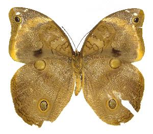 (Brassolinae - INB0004270182)  @15 [ ] Copyright (2011) J. Montero Instituto Nacional de Biodiversidad