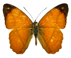 (Nica flavilla canthara - INB0004270445)  @15 [ ] Copyright (2011) J. Montero Instituto Nacional de Biodiversidad