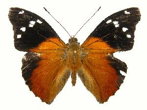 (Pycina - INB0004270904)  @14 [ ] Copyright (2011) J. Montero Instituto Nacional de Biodiversidad