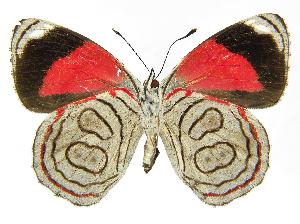 (Diaethria - INB0004270942)  @15 [ ] Copyright (2011) J. Montero Instituto Nacional de Biodiversidad