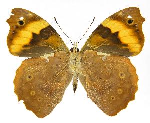 (Epiphile - INB0004270959)  @15 [ ] Copyright (2011) J. Montero Instituto Nacional de Biodiversidad