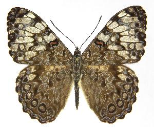 (Hamadryas guatemalena guatemalena - INB0004270985)  @15 [ ] Copyright (2011) J. Montero Instituto Nacional de Biodiversidad