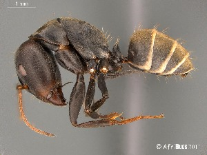 (Camponotus AFRC-LIM-01 - AFR-TQM-140-B1-i)  @14 [ ] Unspecified (default): All Rights Reserved  Unspecified Unspecified