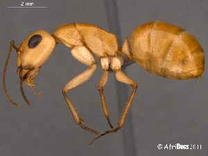 (Camponotus AFRC-NAM-02 - AFR-CND-2010-20-F06)  @16 [ ] Unspecified (default): All Rights Reserved  Unspecified Unspecified