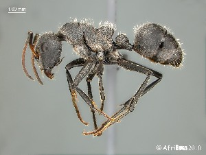 (Camponotus mayri - AFR-TQM-140-A2-i)  @15 [ ] Unspecified (default): All Rights Reserved  Unspecified Unspecified