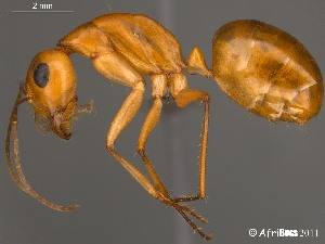 (Camponotus mystaceus - AFR-CND-2010-20-F01)  @16 [ ] Unspecified (default): All Rights Reserved  Unspecified Unspecified