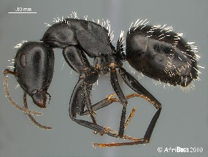 (Camponotus niveosetosus - AFR-EN1-D-HC-F06)  @16 [ ] Unspecified (default): All Rights Reserved  Unspecified Unspecified