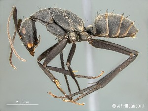 (Camponotus petersii - AFR-RVG1-HC-F27)  @16 [ ] Unspecified (default): All Rights Reserved  Unspecified Unspecified