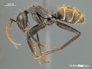 (Camponotus AFRC-SA-1SSA - AFR-MLK-HC-F29)  @16 [ ] Unspecified (default): All Rights Reserved  Unspecified Unspecified