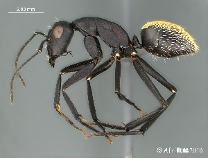 (Camponotus AFRC-NCA-01 - AFR-GAM1-wp25-01)  @16 [ ] Unspecified (default): All Rights Reserved  Unspecified Unspecified