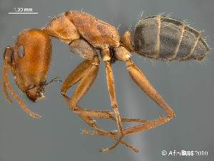 (Camponotus AFRC-SA-3SSA - AFR-BGG1-HC-F33)  @16 [ ] Unspecified (default): All Rights Reserved  Unspecified Unspecified