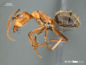 (Camponotus AFRC-SA-3SSC - AFR-BGG1-HC-F10)  @16 [ ] Unspecified (default): All Rights Reserved  Unspecified Unspecified
