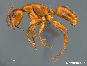 (Camponotus AFRC-WCA-01 - AFR-EN1-T-2009-wp78-01)  @16 [ ] Unspecified (default): All Rights Reserved  Unspecified Unspecified