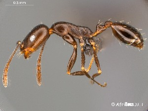 (Monomorium vatranum - AFR-CND-2010-11-F03)  @16 [ ] Unspecified (default): All Rights Reserved  Unspecified Unspecified