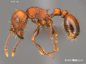 (Tetramorium rufescens - AFR-CND-2010-20-F09)  @16 [ ] Unspecified (default): All Rights Reserved  Unspecified Unspecified