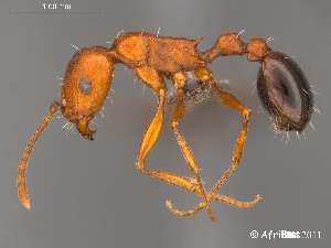 (Tetramorium sericeiventre - AFR-CND-2010-37-F04)  @16 [ ] Unspecified (default): All Rights Reserved  Unspecified Unspecified