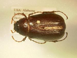 (Phyllophaga pearliae - MP1366b)  @14 [ ] Unspecified (default): All Rights Reserved  Unspecified Unspecified
