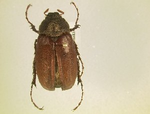 (Phyllophaga ilicis - MP292)  @13 [ ] Unspecified (default): All Rights Reserved  Unspecified Unspecified