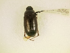 (Phyllophaga bipartita - MP336)  @14 [ ] Unspecified (default): All Rights Reserved  Unspecified Unspecified