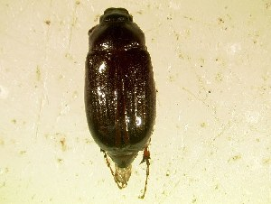 (Phyllophaga bipartita - MP359)  @14 [ ] Unspecified (default): All Rights Reserved  Unspecified Unspecified