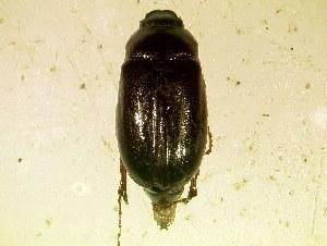 (Phyllophaga bipartita - MP360)  @14 [ ] Unspecified (default): All Rights Reserved  Unspecified Unspecified