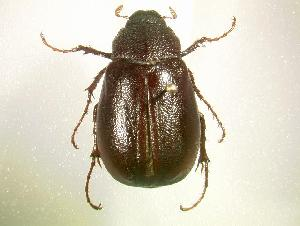 (Phyllophaga luctuosa - MP769)  @14 [ ] Unspecified (default): All Rights Reserved  Unspecified Unspecified