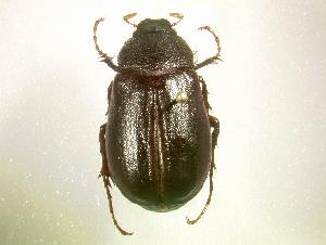 (Phyllophaga luctuosa - MP770)  @14 [ ] Unspecified (default): All Rights Reserved  Unspecified Unspecified