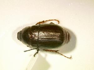 (Phyllophaga fraterna - MP796)  @14 [ ] Unspecified (default): All Rights Reserved  Unspecified Unspecified