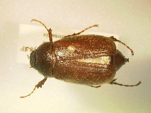 (Phyllophaga delata - MP807b)  @14 [ ] Unspecified (default): All Rights Reserved  Unspecified Unspecified