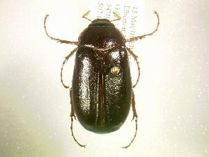 (Phyllophaga fervida - MP1091)  @14 [ ] Unspecified (default): All Rights Reserved  Unspecified Unspecified