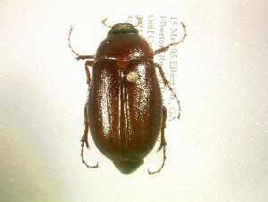 (Phyllophaga fervida - MP1093)  @14 [ ] Unspecified (default): All Rights Reserved  Unspecified Unspecified