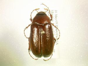 (Phyllophaga fervida - MP1098)  @14 [ ] Unspecified (default): All Rights Reserved  Unspecified Unspecified