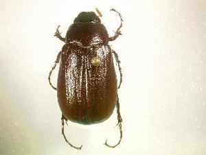 (Phyllophaga foxii - MP1146)  @14 [ ] Unspecified (default): All Rights Reserved  Unspecified Unspecified