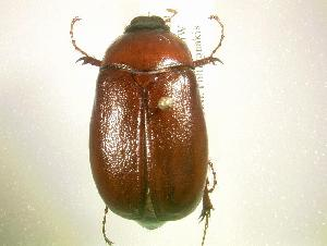 (Phyllophaga postrema - MP1147)  @14 [ ] Unspecified (default): All Rights Reserved  Unspecified Unspecified