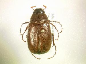 (Phyllophaga subtonsa - MP1200)  @14 [ ] Unspecified (default): All Rights Reserved  Unspecified Unspecified