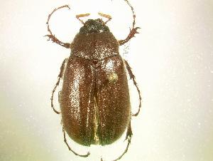 (Phyllophaga subtonsa - MP1201)  @14 [ ] Unspecified (default): All Rights Reserved  Unspecified Unspecified